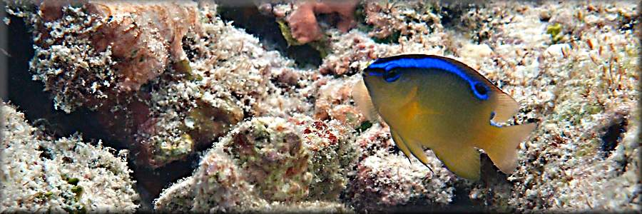 One-spot damselfish