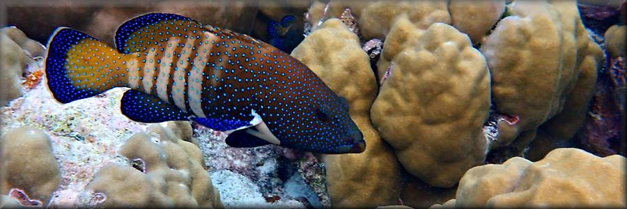 grouper_peacock_rock_cod