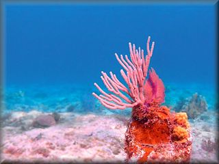 Pink coral at Cemetery Beach