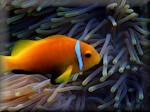 Black foot anemonefish (Amphiprion nigripes) amongst its only coral - Heteractis magnifical