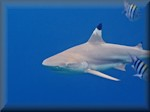 Blacktip reef shark (Carcharhinus melanopterus),showing some attitude