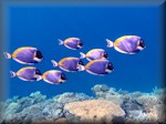 Powderblue surgeonfish (Acanthurus leucosternon) - in a school