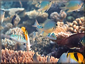 seascape - chromis and other fish