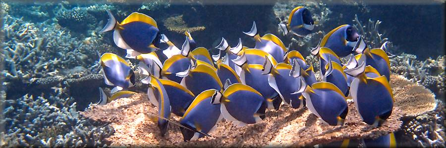 Powderblue surgeonfish feeding at Angsana