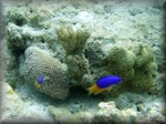 Blue-Yellow damsels in an interesting micro landscape of at least 3 corals