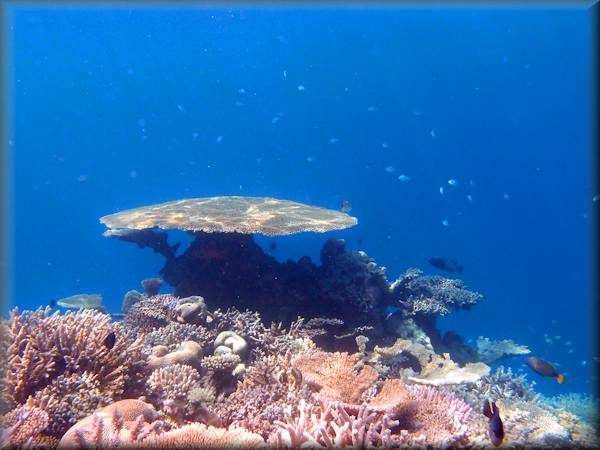 a prominent plate coral among several others - mainly hard corals