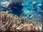 Dusky parrotfish (Scarus niger) swimming amongst various corals