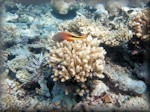 Forster's hawkfish perched on coral waiting to leap out at prey