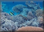 Moorish idol foraging amongst a beautiful range of corals
