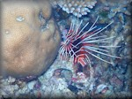 White-lined lionfish (Pterois antennata)