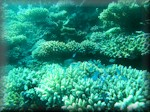 a coral valley with blue-green chromis