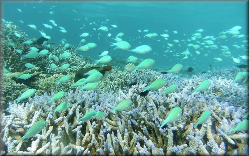 school of blue-green chromis - like swimming in an aquarium