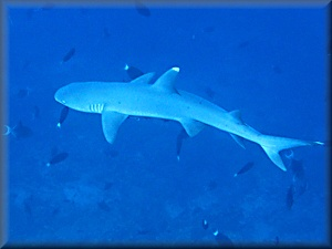 whitetipped reef shark