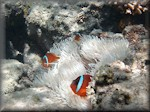 three Tomato anemonefish