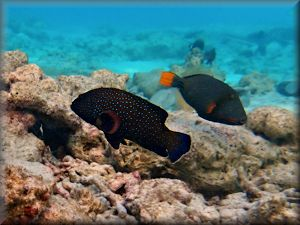 grouper passing triggerfish